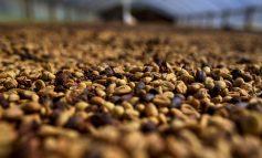 NOVO RECORDE: Exportações de café brasileiro atingem 4,3 milhões de sacas