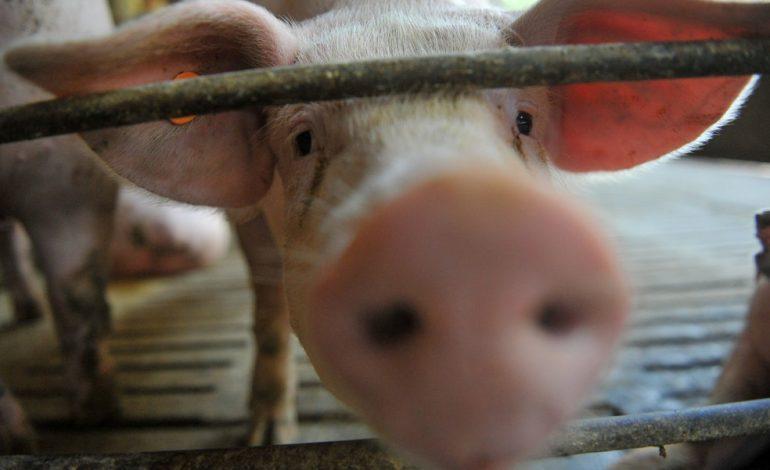 Produção de suínos cai quase 30% em Rondônia, revela pesquisa do IBGE