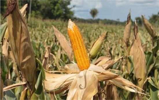 Agropecuária e agricultura continuam crescendo em 2020 e superam produções dos anos anteriores em Rondônia