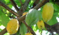 Projeto busca impulsionar produção de cacau na região central de Rondônia