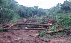 TRÁGICO: Trabalhador morre esmagado quando derrubava árvore na zona rural