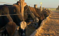 Preço do boi gordo em Rondônia; veja a cotação divulgada pela Emater