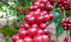 Produtores iniciam colheita da safra de café em Rondônia