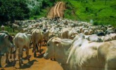 Com 13,5 milhões de cabeças de gado, Rondônia é potência na pecuária brasileira